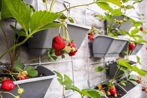 Can I Grow Strawberries on My Balcony?