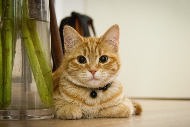 Some Common Signs to Diagnose the Cat for Hyperthyroidism